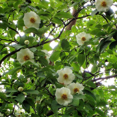 の 樹 の 花 色 沙羅 双